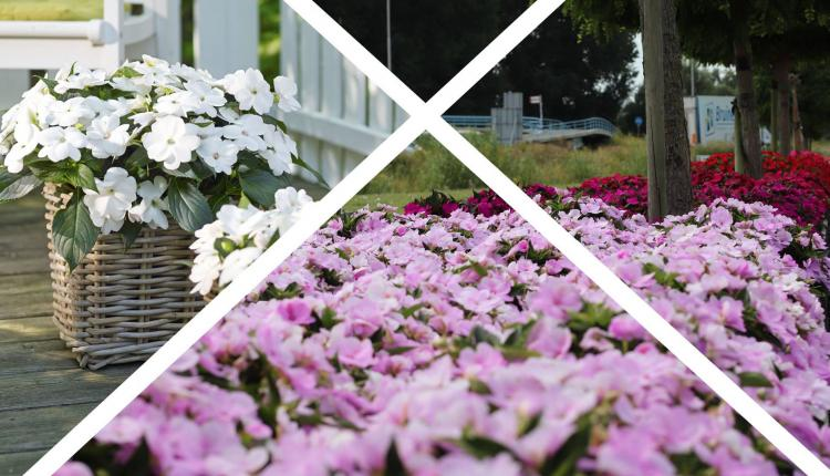 Sunpatiens Featuring At IPM, Hall 1 Stand 1C36