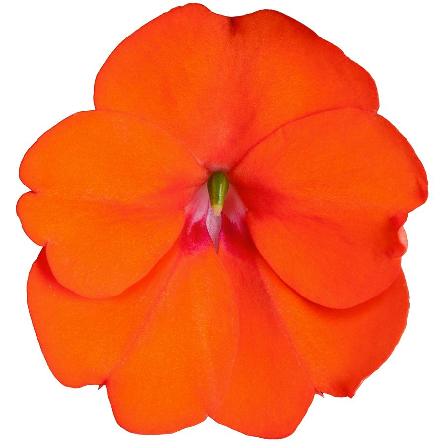 Vigorous Orange