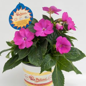 SunPatiens® Compact Hot Lilac