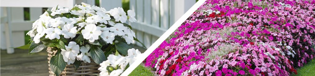 Sunpatiens Assortment