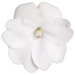 Compact White