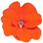 Compact Electric Orange