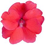 Compact Deep Rose