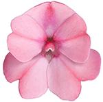 Compact Blush Pink