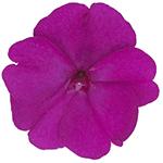 Compact Purple
