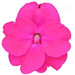 Vigorous Rose Pink