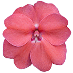 Vigorous Pink Pearl
