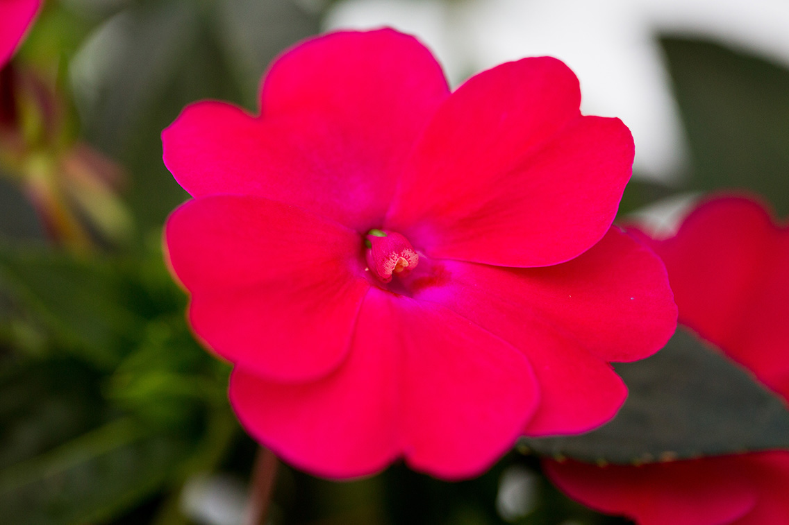 New Introduction! SunPatiens® Compact Rose Glow